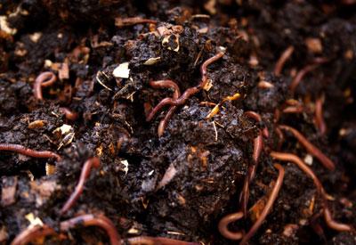 Как да си направите Worm Compost